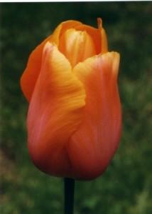 TulpeStehend