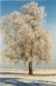 Baum 6 75