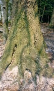 Baum 8 75